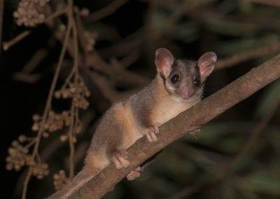 Friends-of-Leadbeaters-Possum-pic9