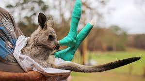 A kangroo joey in bandages and the arms of a carer